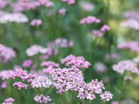 Achillée 'lilac beauty'  -  Astilbe simplicifolia 'sprite' -  Athyrium F.F. 'victoriae'