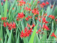 Crocosmia 'Lucifer -  Delosperma  -  Echinacea 'Fatal Attraction'