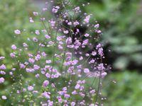 Stokesia (var ?)  -  Thalictrum 'Hewitt double'  -  Verbascum 'Clementine'