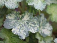 Geranium cinereum 'rothbury gem' -  Helenium 'Daniel Barré'  -  Heuchera 'Hercule'