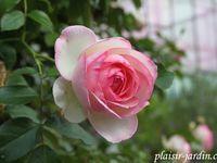 Le rosier grimpant Pierre de Ronsard (Eden Rose)