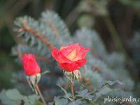 b9. Les rosiers en F. de Fre à Fz.