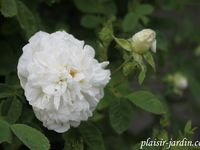'Mary Rose' - 'Redouté' (plus pâle) - 'Winchester Cathedral' (blanche)