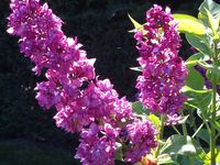 FLEURS (2) : Violet