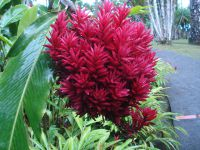 Des fleurs en quantité. Parmi elles, des alpinias, balisiers, hibiscus, (..) roses de porcelaine (emblème de la Martinique), anthuriums et bien d'autres encore...