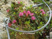 Quelques fleurs le long de la via, un lys orangé, un lys de St Bruno, des rhododendrons accrochés à la paroi.