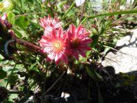 Parmi les multiples espèces de fleurs, la joubarde, le lys martagon. Au loin le glacier de Polset.