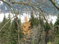 Un temps couvert au départ. Un mélèze a pris ses teintes d'automne.