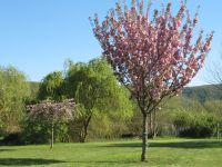 Cerisiers en fleurs dans mon jardin.