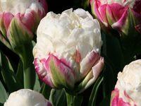 Tulipe Ice Cream, Tulipe Bleu Aimable, Tulipe Bleu Heron, Tulipe Black Parrot, Anémones Mr Fokker, Fritillaire Meleagris, Allium Purple Sensation, Fritillaire Persica.