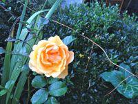 Les narcisses, les tulipes, les scilles, puis les azalées et les rosiers vont fleurir. Les buis doivent être prêts !
