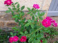 rosier 'Burgundy Ice'