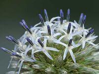 Clerodendrum trichotomum - Echinops sphaerocephalus - Penstemon digitalis 'Mystica'