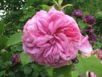 Rosier 'Cardinal de Richelieu', 'Rose des peintres', 'Colette', 'Nicolas Hulot', 'Bleu Magenta', 'Rose de Rescht'