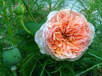 'Abraham Darby' - 'Othello' - 'Evelyn'