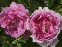 'Rose des peintres' - 'Fantin Latour' (<1900) - 'Tour de Malakoff' (1856)