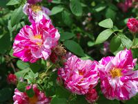 Rosa gallica officinalis versicolor, 1583 - 'Cardinal de Richelieu', 1847 - 'Tuscany Superb', 1848