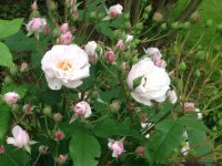 Rosiers 'Bouquet parfait', 'Ethel', 'Blush Noisette'