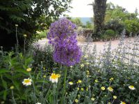 Secteur nord-est : allium 'Purple sensation' - tulipe 'Bleu aimable' - Penstemon 'Russian river'