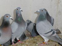 Victor avec ses veufs, le DUPA et les femelles, la fenêtre automatisée