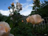 Les roses de Carlos