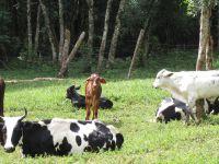 piste d'accès, et au détour d'un virage quelques vaches et veaux, ma fois bien jolis, et multicolores.
