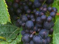 Maturité des raisins au Champagne Franck PASCAL - Vendanges 2014 - Biodynamie