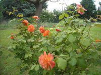Roses, iris et Muguet du 8 mai !