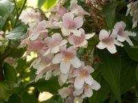 roses, pivoines, clématites, kolkwitzia, géranium et valériane du jardin