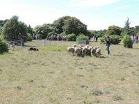 Saint Rémy, Petite Crau, triage des moutons