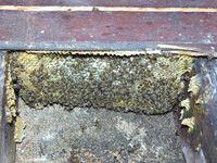l'essaim original, sous un vieux plancher.
