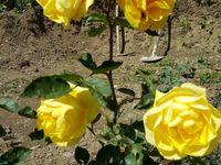 Jardinage : Juin 2016 les rosiers explosent