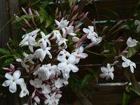 Etude botanique: le Jasmin