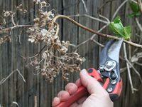 Suppression des fleurs fanées sur hortensia macrophylla.