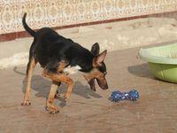 Lemon 4 ans petit chien très joueur cherche famille