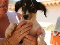 STRATO 7 mois, à l'adoption chez sos chiens galgos