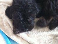 2 bébés chiens griffons de 4 mois à l'adoption à l'association chez sos chiens galgos