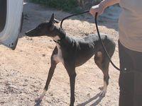 Carinosa une galga noire de 6 ans à adopter chez sos chiens galgos