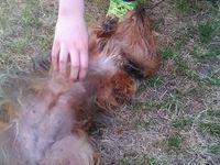 sauvetage et adoption d'une petite chienne récupérée d'une grande maltraitance