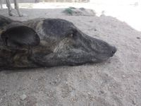 grand levrier galgo male à l'adoption