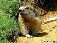 Marmottes en Vercors - mai 2016