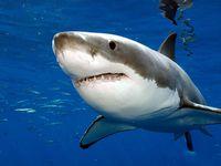 Les bons et les méchants requins.