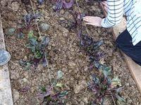 plantation des 70 plants de Betterave