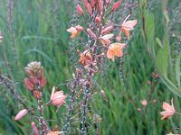 Bulbine orange  - Bulbine frutescens