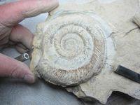 Préparation ammonite terminée :))
