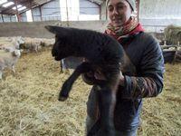 Les agneaux peuvent être noirs ou tachetés de beige