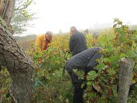 Dans le brouillard du petit matin, les vendangeurs récoltent de belles grappes de Pineau d'Aunis