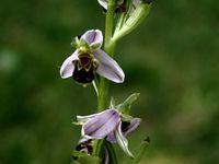 ORCHIDEES BOURDON