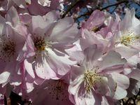Le premier prunier du Japon en fleur