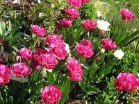 Tulipes doubles mix blanc rose 05-11 Avril 2015
